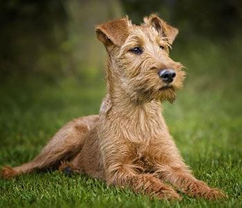 Medium Non Shedding Dog Breed - Irish Terrier