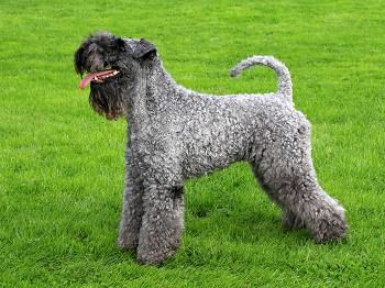 Medium Non Shedding Dog Breed - Kerry Blue Terrier