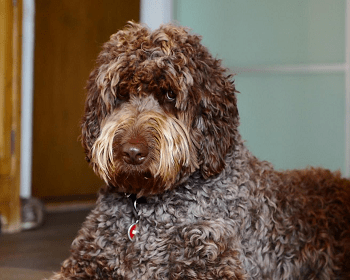 Medium Non Shedding Dog Breed - Labradoodle