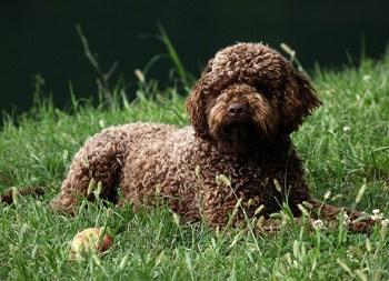Medium Non Shedding Dog Breed - Lagotto Romagnolo