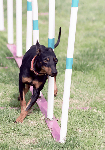 Medium Non Shedding Dog Breed - Manchester Terrier
