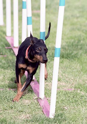 Medium Non Shedding Dog Breed - Manchester Terrier