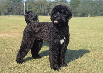 Medium Non Shedding Dog Breed - Portuguese Water Dog