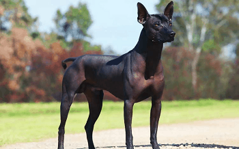 Medium Non Shedding Dog Breed - Standard Mexican Hairless