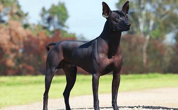 Medium Non Shedding Dog Breed - Standard Mexican Hairless