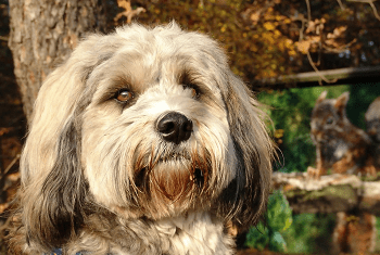 Medium Non Shedding Dog Breed - Tibetan Terrier