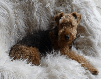 Medium Non Shedding Dog Breed - Welsch Terrier