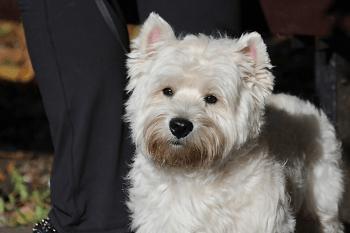 Medium Non Shedding Dog Breed - West Highland White Terrier