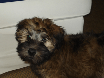 Medium Non Shedding Dog Breed-Wheaten Terrier