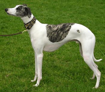 Medium Non Shedding Dog Breed - Whippet