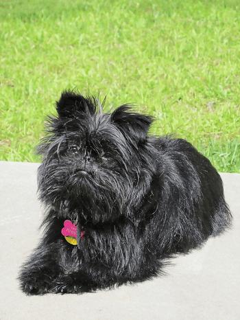 Small Non Shedding Dog Breed - Affenpinscher