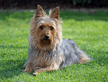 Small Non Shedding Dog Breed - Australian Silky Terrier