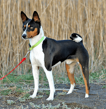 Small Non Shedding Dog Breed - Basenji