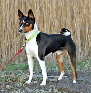 Small Non Shedding Dog Breed - Basenji