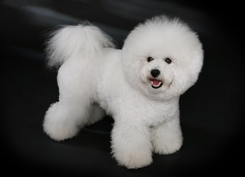 Small Non Shedding Dog Breed - Bichon Frise