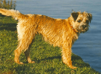 Small Non Shedding Dog Breed - Border Terrier