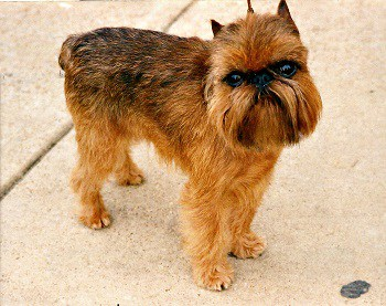 Small Non Shedding Dog Breed - Brussels Griffon