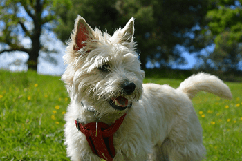 Small Non Shedding Dog Breed - Cairn Terrier