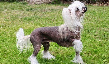 Small Non Shedding Dog Breed - Chinese Crested