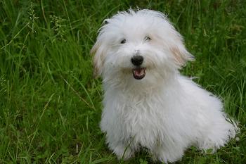 Small Non Shedding Dog Breed - Coton de Tulear