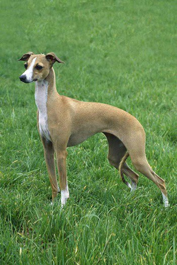 Small Non Shedding Dog Breed - Italian Greyhound