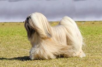Small Non Shedding Dog Breed - Lhasa Apso