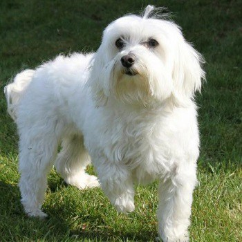 Small Non Shedding Dog Breed - Maltese