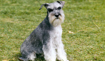Small Non Shedding Dog Breed - Miniature Schnauzer