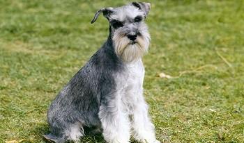 Small Non Shedding Dog Breed - Miniature Schnauzer