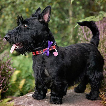 Small Non Shedding Dog Breed - Scottish Terrier