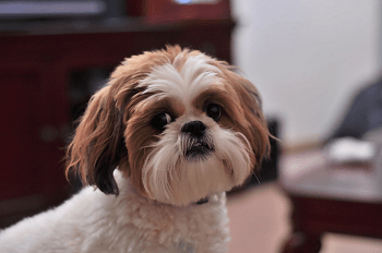 Small Non Shedding Dog Breed - Shih-Tzu