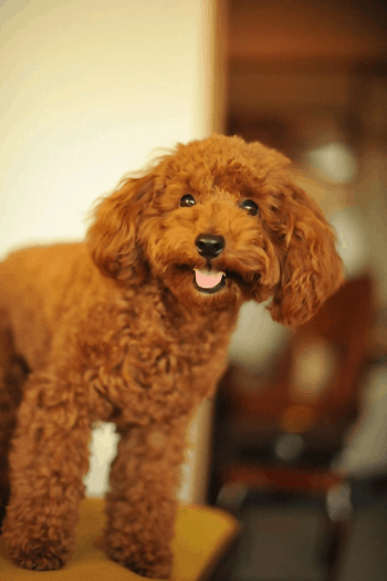 Small Non Shedding Dog Breed - Toy Poodle