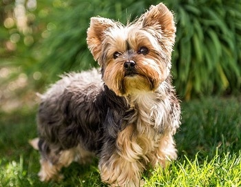Small Non Shedding Dog Breed - Yorkshire Terrier