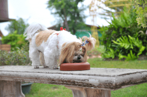 Best Dog Food for Shih Tzu with Allergies 2020 – Buyer's Guide