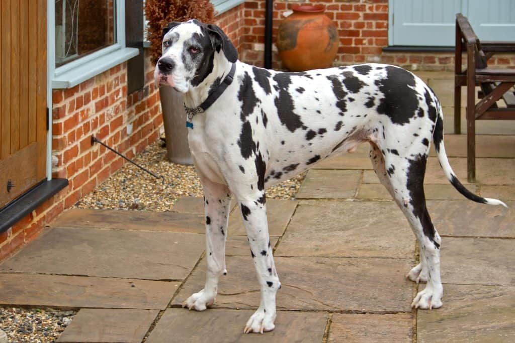 Best Dog Door for Great Dane