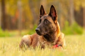 Belgian Malinois Dog Breed Guide | Dogs 101 – Belgian Malinois