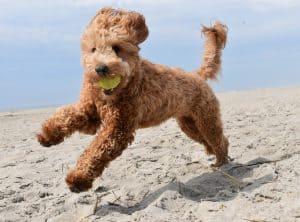 Goldendoodle Dog Breed Information | Dogs 101 – Goldendoodle