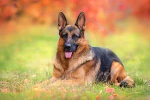 German Shepherd Dog Breed Information | Dogs 101 German Shepherd