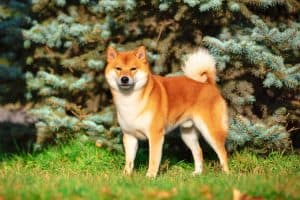 Shiba Inu Dog Breed Information | Dogs 101 Shiba Inu