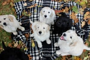Goldendoodle Facts | 10 Facts About The Goldendoodle