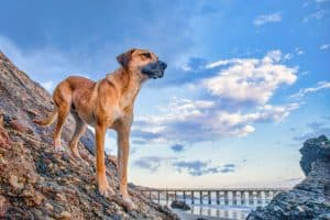 10 Black Mouth Cur Facts | Facts About The Black Mouth Cur