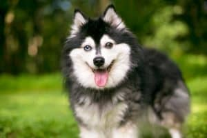 Alaskan Klee Kai Dog Breed Information | Dogs 101 Alaskan Klee Kai