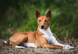 10 Basenji Facts | Facts About The Basenji