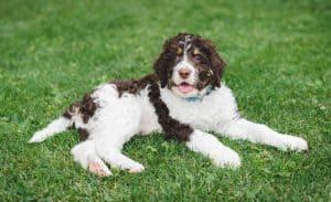 Bernedoodle Dog Breed Information | Dogs 101 Bernedoodle