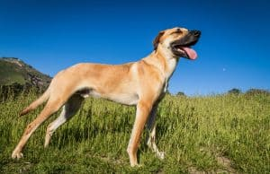 Black Mouth Cur Dog Breed Information | Dogs 101 Black Mouth Cur