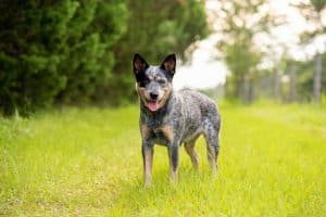 What To Know About The Blue Heeler Puppies