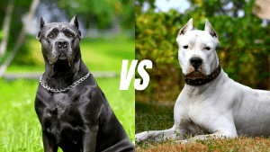 Cane Corso Vs Dogo Argentino | Breed Comparison