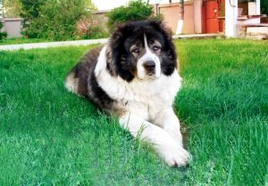 Caucasian Shepherd Dog Breed Information | Dogs 101 Caucasian Shepherd