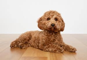 10 Cavapoo Facts | Facts About The Cavapoo
