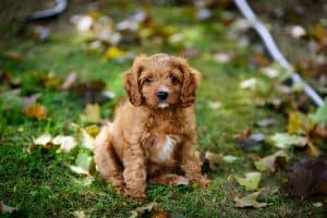 Cavapoo Dog Breed Information | Dogs 101 Cavapoo